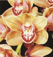 CSA_Cymbidium_William_Weave