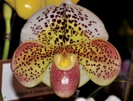 Paph Boom Time 'Saratoga Belle' owner Orchids Royale photo Heidi Kirkpatrick