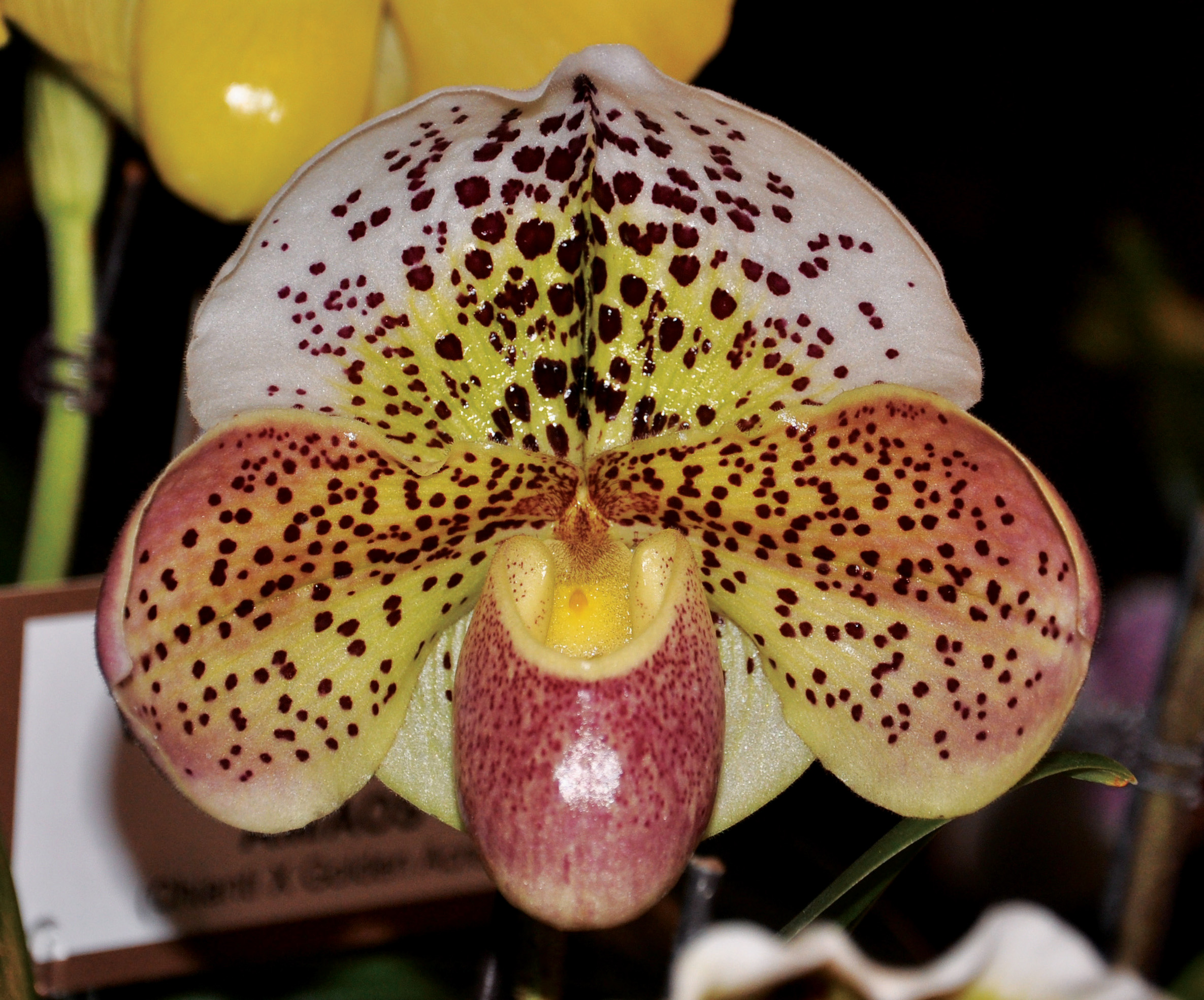 Paph Boom Time 'Saratoga Belle' owner Orchids Royale photo Heidi Kirkpatrick